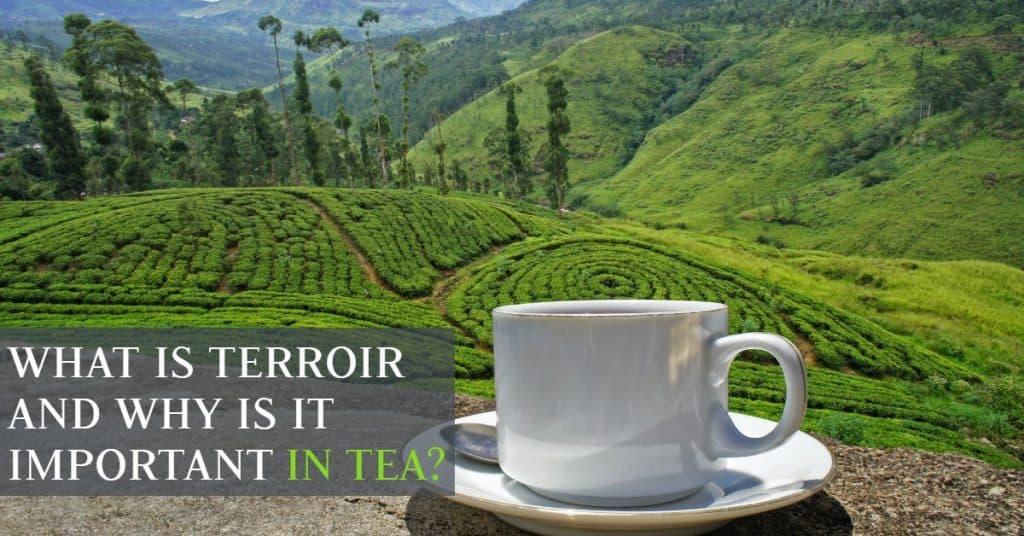 cut of coffee in tea plantation